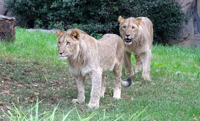 Motshegetsi on the right, and Majo at Leipzig Zoo